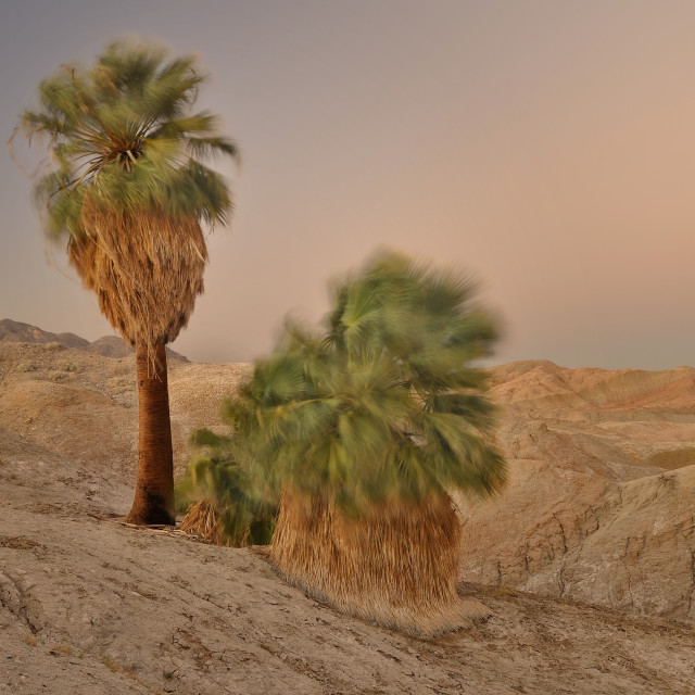 """Windy Palm Trees in the Desert"" stock image"