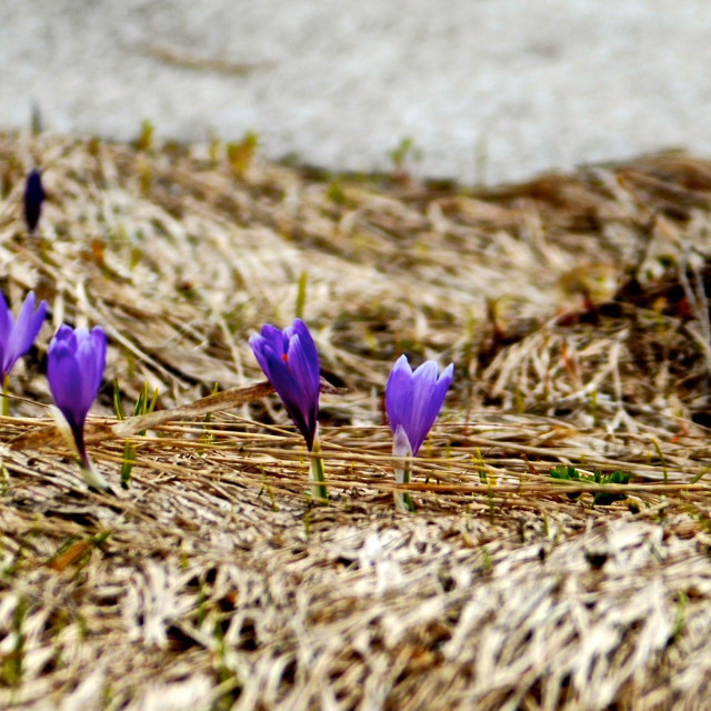 """Crocuses after the snow"" stock image"