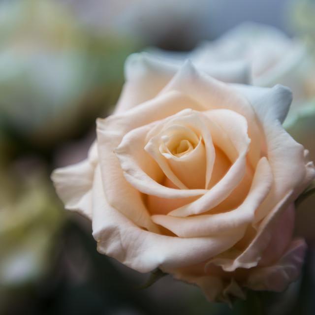"""Vintage style rose"" stock image"