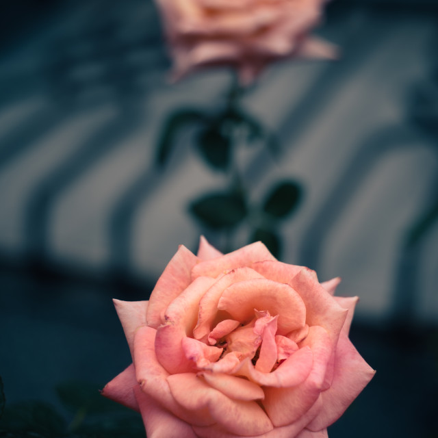 """Pink roses on grey background"" stock image"