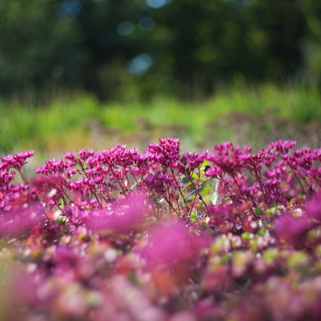 """""""Pink flowers in a field"""" stock image"""