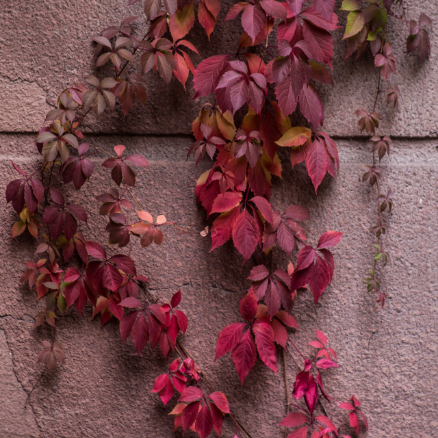 """""""Red ivy plant"""" stock image"""