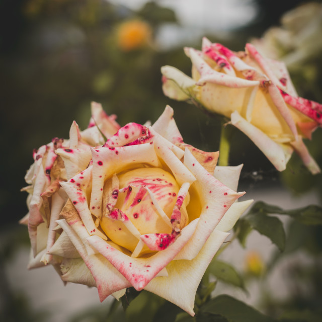 """""""Vintage style roses"""" stock image"""