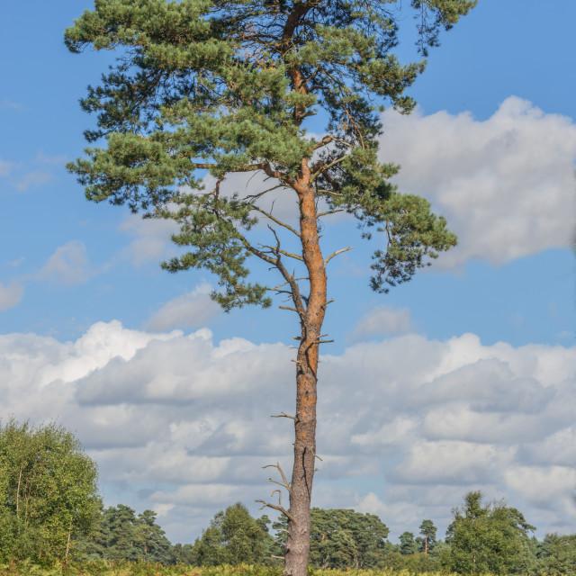 """""""Scots Pine Tree"""" stock image"""