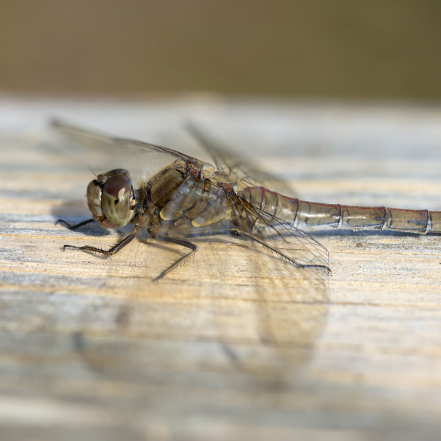 """Female Common Darter Dragonfly"" stock image"
