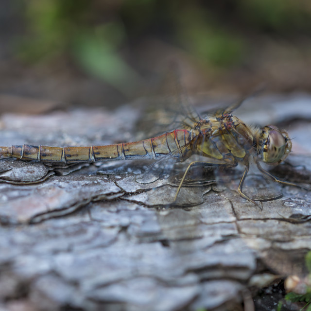 """Resting Common Darter Dragonfly"" stock image"