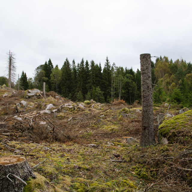 """""""Stumps in a clear-cut forest"""" stock image"""