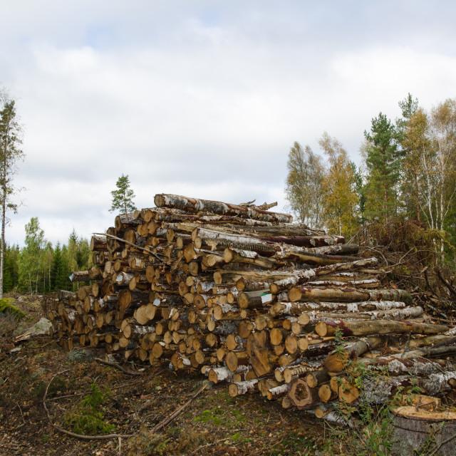 """Woodpile of birch tree logs"" stock image"