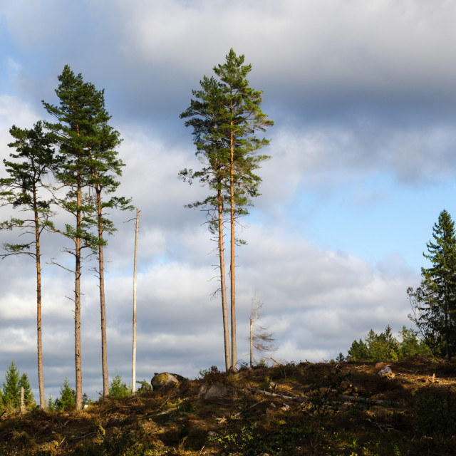 """""""Group of tall pine trees"""" stock image"""