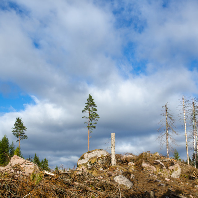 """""""Left standing trees in a clear cut area"""" stock image"""