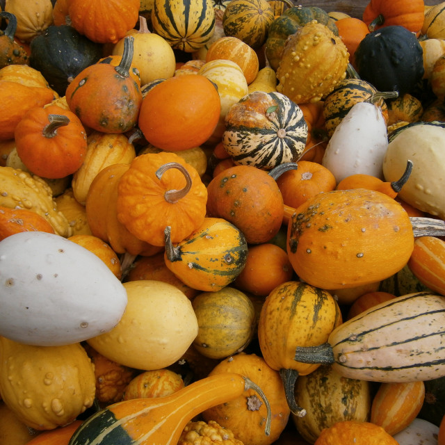 """""""Passion for Pumpkin"""" stock image"""