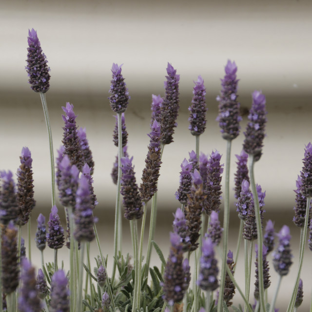 """Lavendar and iron"" stock image"