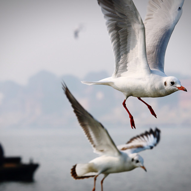 """Seagulls in flight"" stock image"