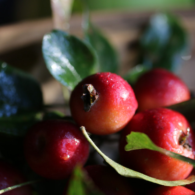 """Crabapples"" stock image"