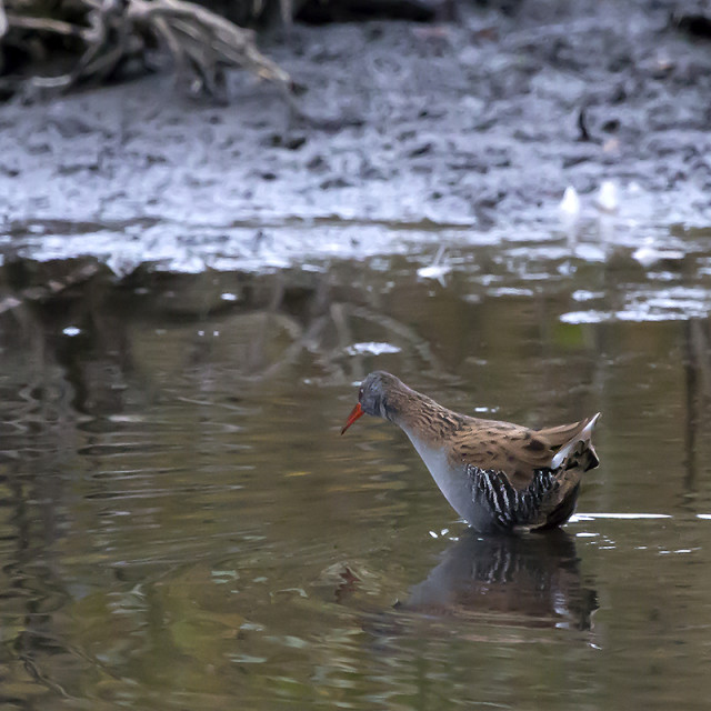 """Water Rail."" stock image"