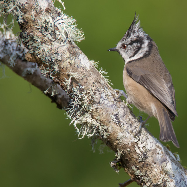 """Crested Tit, Aigas Field Centre"" stock image"