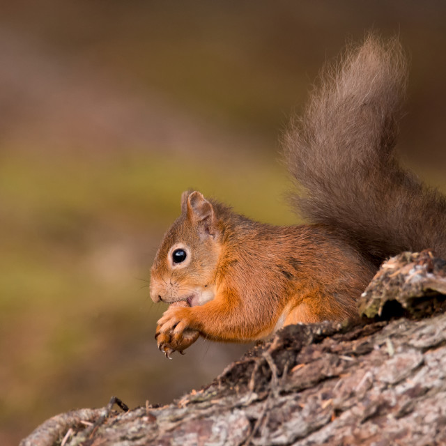 """Red Squirrel, Black Isle"" stock image"
