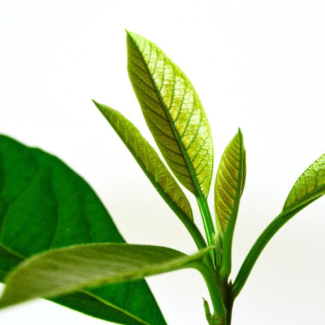 """""""Sprouting avocado tree"""" stock image"""