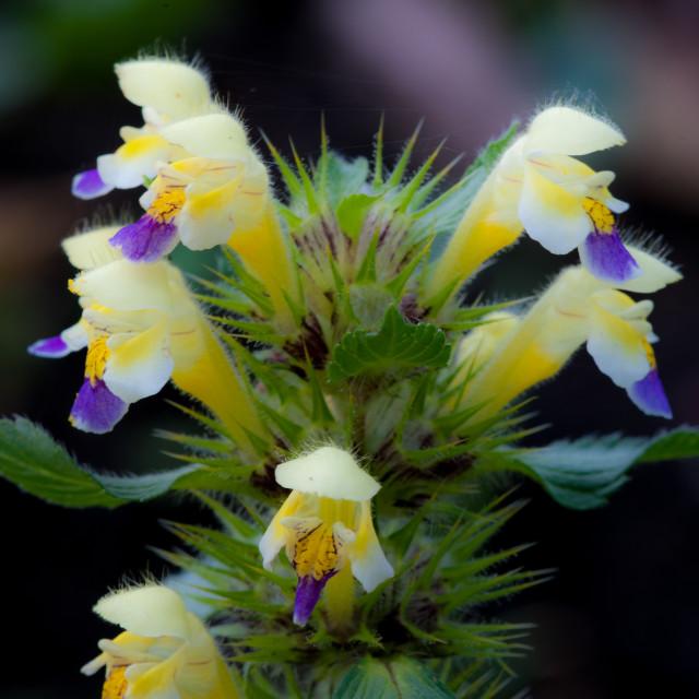 """Large-flowered hemp-nettle"" stock image"