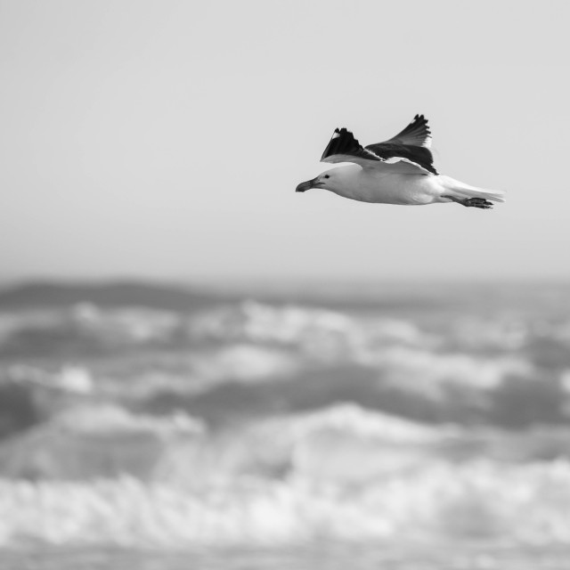 """Seagull over the sea"" stock image"