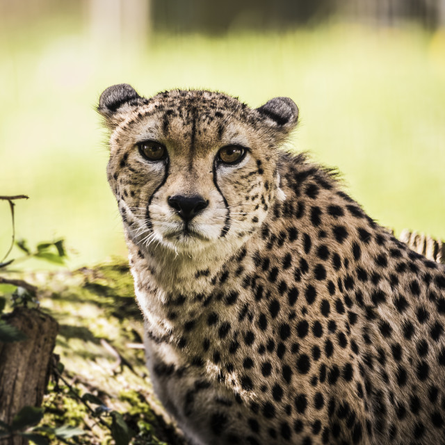 """Cheetah Stare"" stock image"