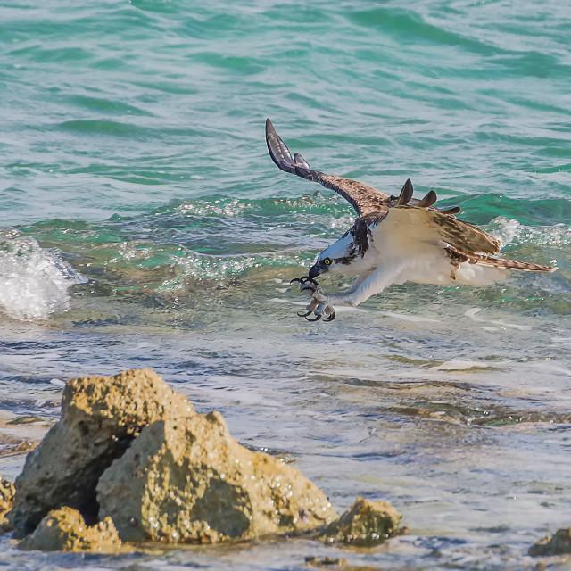 """Hunting Osprey"" stock image"
