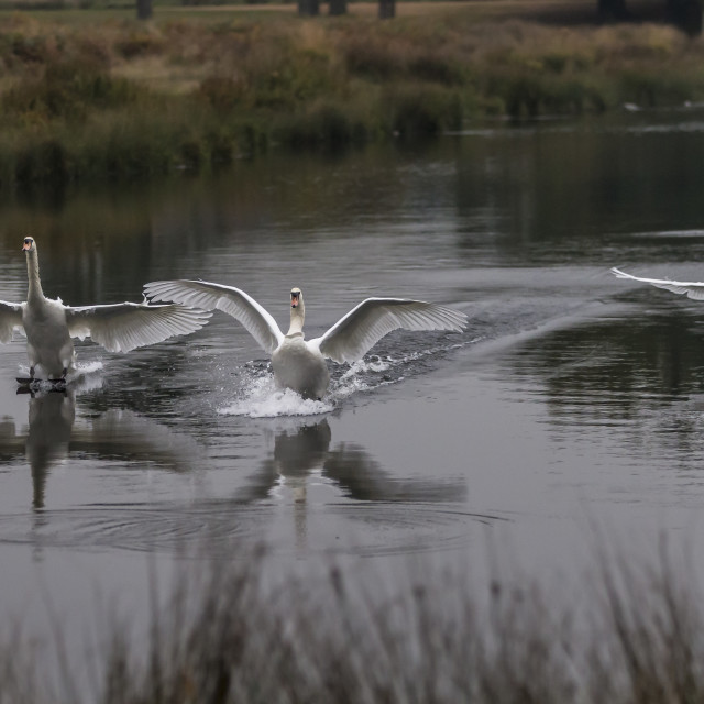 """Swans Of Richmond Park"" stock image"