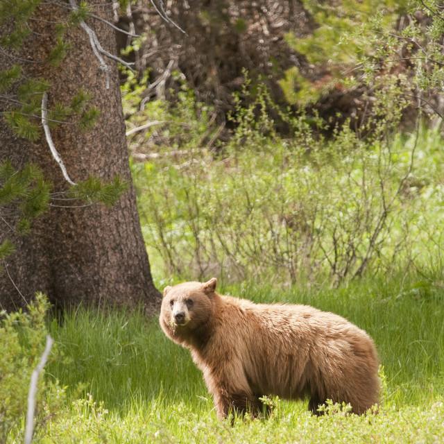 """American Black bear in Yosemite national park"" stock image"