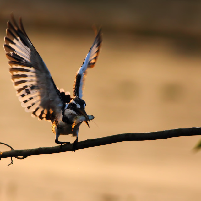 """Pied Kingfisher with catch"" stock image"