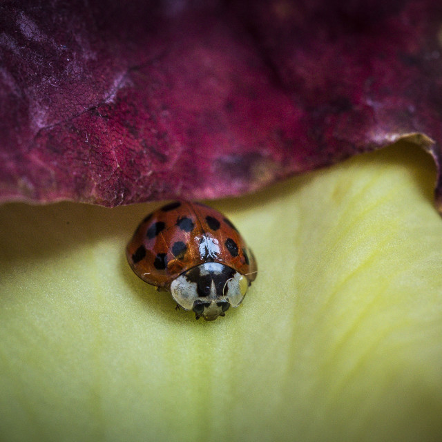 """Coccinellidae"" stock image"