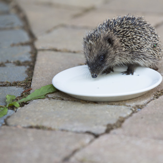"""Hedgehog"" stock image"