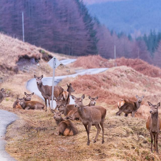 """Female deer"" stock image"