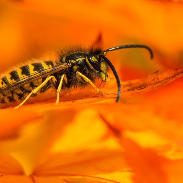 """Autumnal Wasp"" stock image"