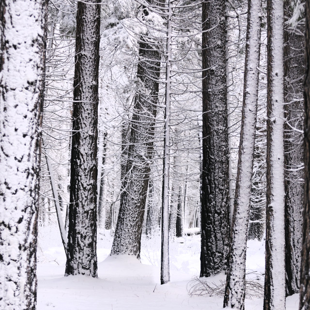 """snow laden trees and the ground blanketed in snow in Yosemite forest"" stock image"