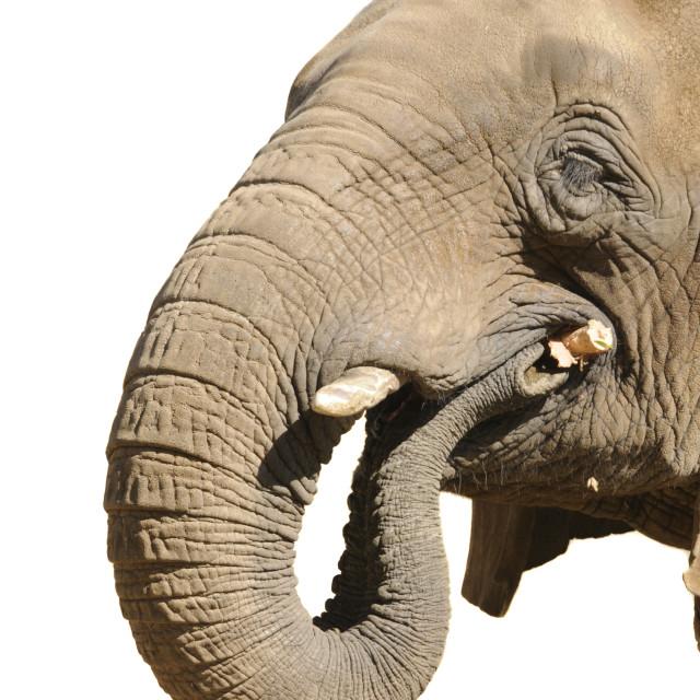 """Elephant playing with stick"" stock image"