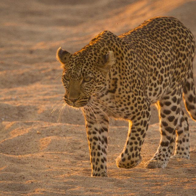 """""""Leopard walking in the sand"""" stock image"""