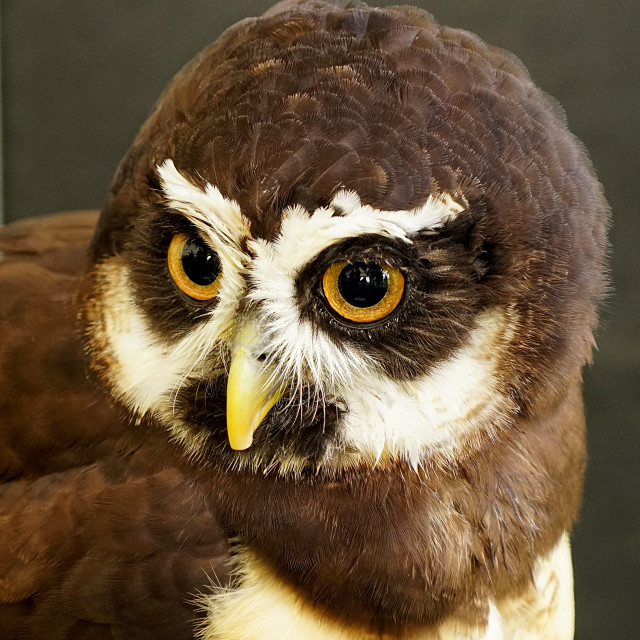 """""""Spectacled Owl"""" stock image"""