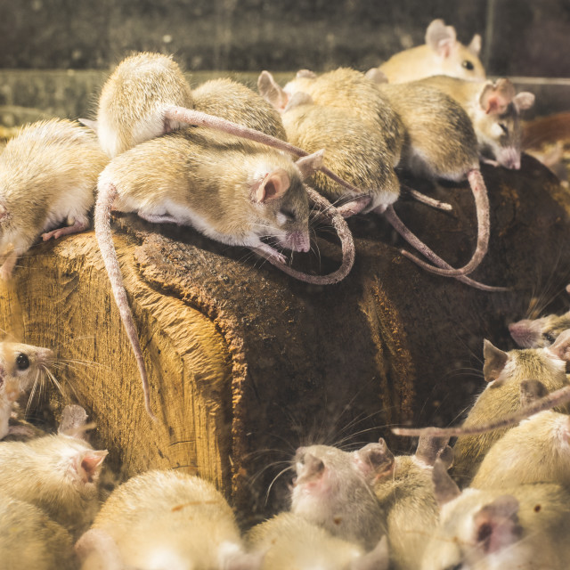 """Rats on wood"" stock image"