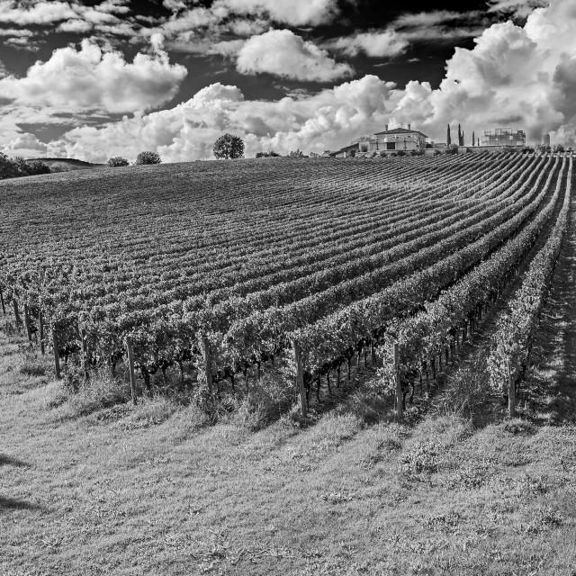 """""""Tuscany wineyards"""" stock image"""