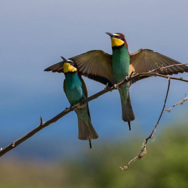 """European Bee-eaters"" stock image"