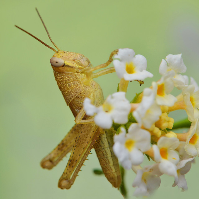 """The grasshopper"" stock image"