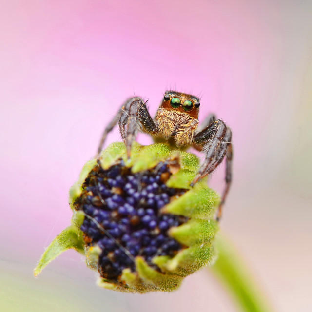 """Jumping Spider on Flower"" stock image"