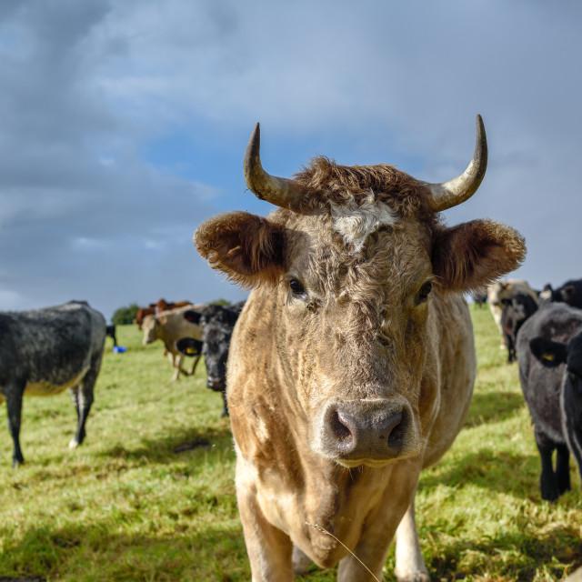 """Cattle In Field"" stock image"