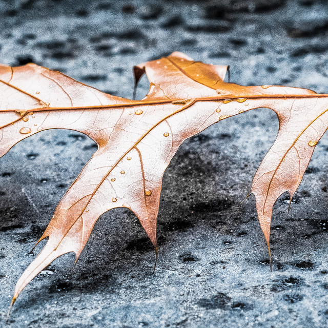 """walking leaf"" stock image"