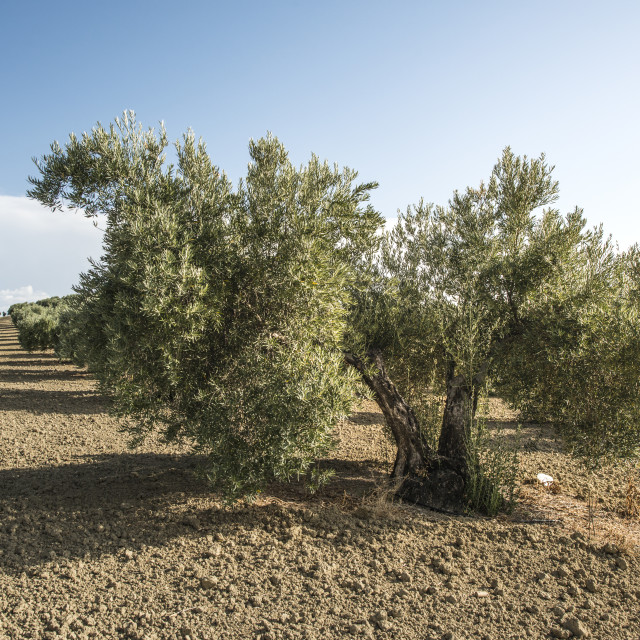 """Olive trees"" stock image"