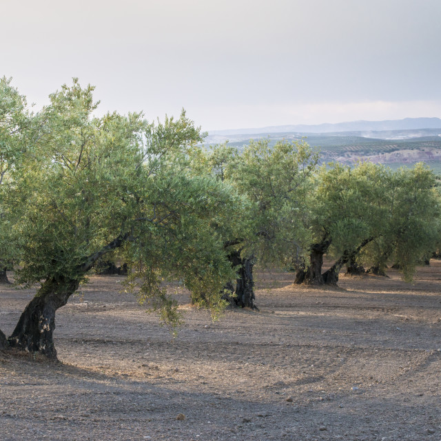 """Olive trees in a row"" stock image"