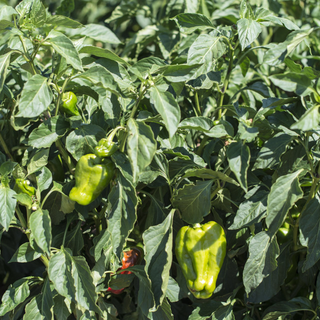 """Growing peppers in the field"" stock image"