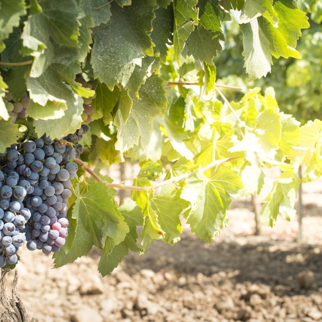 """Vine grapes"" stock image"