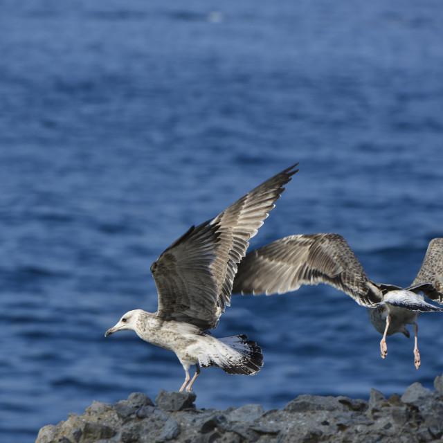 """Seagulls."" stock image"