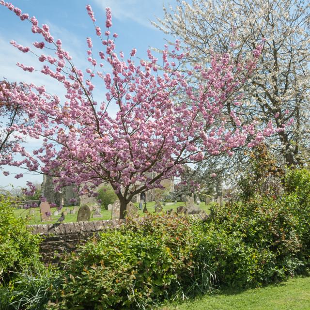"""churchyard blossom"" stock image"